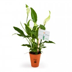 Spathiphyllum en pot terre cuite Airpur